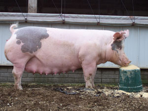 PigProgress - Aarhus Uni feeding model can help improve sow milk ...